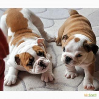 Чарівні Англійська бульдог щенки для прийняття