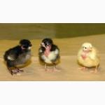 Цыплята мясо-яичной Голошейка (Португалия), Доминант, Браун Ник, от производителя
