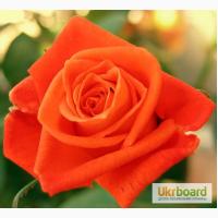 Пропоную вашій увазі сорти елітних троянд за доступними цінами