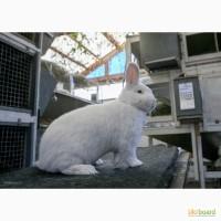 Имеются в продаже кролики породы Новозеландская Белая (НЗБ)