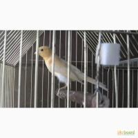 Продам птахи канарейки