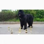 Продам щенков ньюфаундленда
