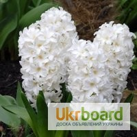 Цветы гиацинта в горшочках к 8 марта
