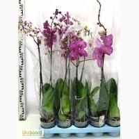Орхидея из Голландии