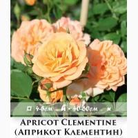 Саженцы роз - садовые миниатюрные розы