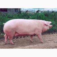 Свиноматки, свиньи, живым весом Харьков, область доставка бесплатно
