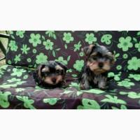 Продажа замечательных щенков породы Йоркширский терьер