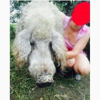 Пуховая венгерська мангалица чистокровная свинки кабанчик свиньи
