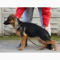 Шикарные щенки немецкой овчарки КСУ