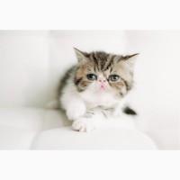 Экзоты котята