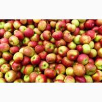Закупка яблок оптом
