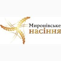 Продам гречиху сорт Слобожанка, Сумчанка, Юбилейная 100, 1 репродукция