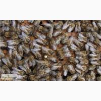 Пчелиные матки Украинской степной породы Ф1 (пчеломатки)
