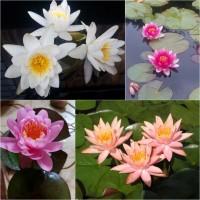Німфеї (водяні лілії, кувшинки) та інші рослини для декоративних водойм