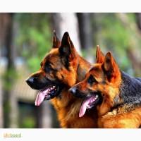 Клубные щенки немецкой овчарки