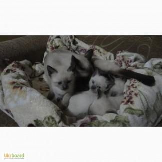 Продам старотипных сиамских (тайских) котят
