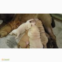 Продам щенят шарпея