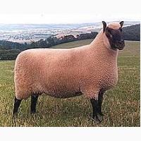 Куплю овець вказаних нижче порід