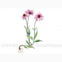 Продам саженцы Эхинацеи и много других растений (опт от 1000 грн)