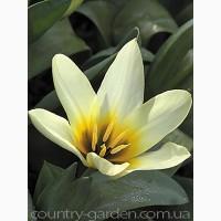 Продам луковицы Тюльпанов Кауфмана и много других растений (опт от 1000 грн)