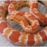 Продаём ручные змеи разных размеров, варан капский, эублефар, игуана, гекконы