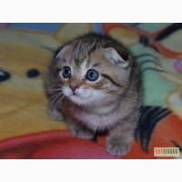 Вислоухие котята полукровки