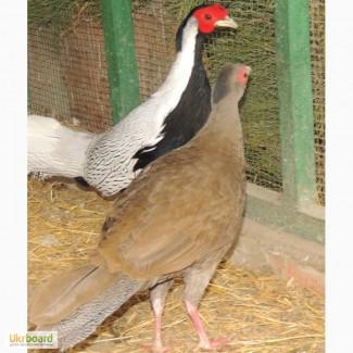 Продам фазанов золотых, серебристых