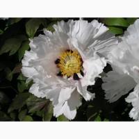 Пионы древовидные - цветущие саженцы