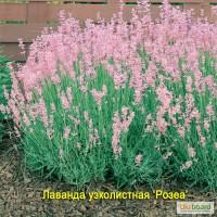 Лаванда розовая и белая по 65 грн