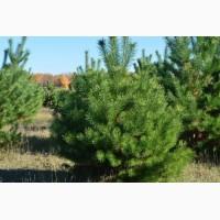 Продам елку (сосна) новогоднюю от 1м - 4м