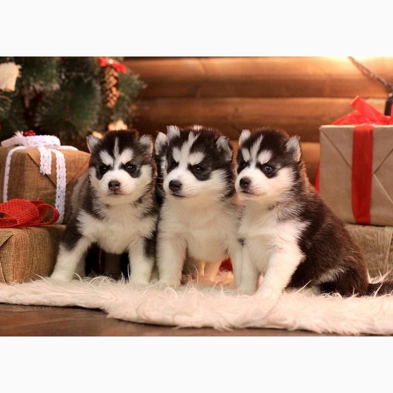 Фото 2/8. Сибирский хаски щенки с документами