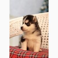 Сибирский хаски щенки с документами