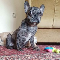French bulldog-merle