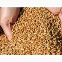Покупаем пшеницу 2-4 класса.Самовывоз