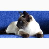 Настоящий породный Тайский кот из питомника ROYAL SYMPHONY