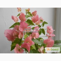 Бугенвиллии Australion Pink