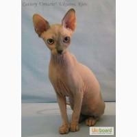 Канадские сфинксы - голорожденые котята. Различные окрасы