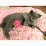 Русские голубые котята в новый дом в новую семью