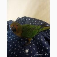 Красавцы аратинги ручной попугай для души