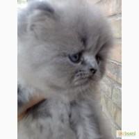 Красивый персидский котенок