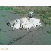 Щенки среднеазиатской овчарки (алабай)