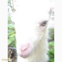 Продам ламанча-зааненских козлят отец с документами