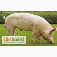 Куплю больних свиней хряков