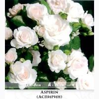 Розы - саженцы почвопокровных роз