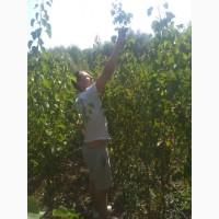 Саженцы вишни Чернокорка