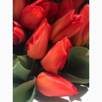 Крупный, высокий, местный тюльпан, Не Голландия!!! По 15 гривен