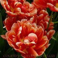 Продам луковицы Тюльпанов Махровых и много других растений (опт от 1000 грн)