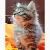 Клубный котенок - курильский бобтейл