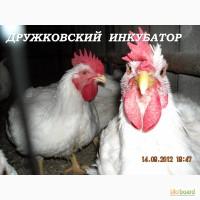 Суточные цыплята бройлера КОББ-500