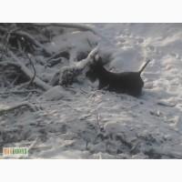Продам щенков скотч-терьера